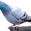 US Racing pigeon could be killed after surviving 8,000 mile journey to Australia