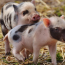 You can now buy tickets for the 'world's first festival for pigs'