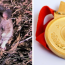 Rat that detects landmines awarded tiny gold medal for 'lifesaving bravery'