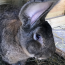 Search underway in UK after world's largest rabbit stolen from his home